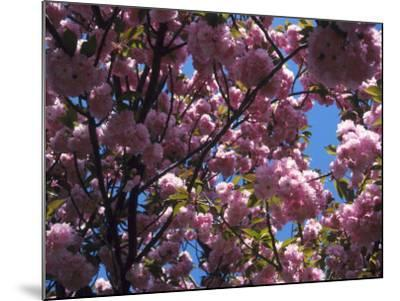 Flowering Cherry Tree, Ct-Kurt Freundlinger-Mounted Photographic Print