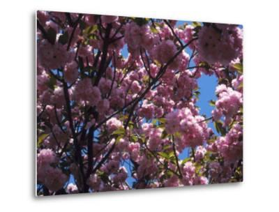Flowering Cherry Tree, Ct-Kurt Freundlinger-Metal Print
