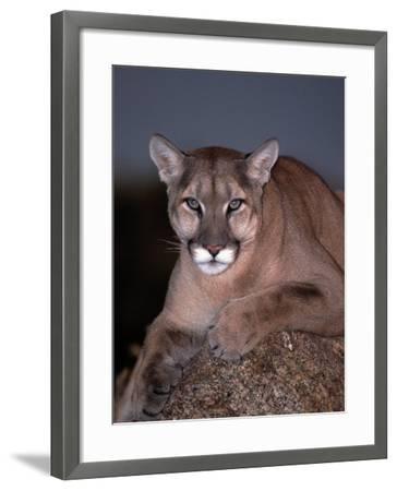 Mountain Lion on Rock, Felis Concolor-D^ Robert Franz-Framed Photographic Print