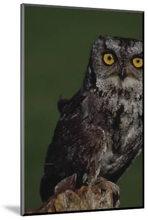 Screech Owl-Russell Burden-Mounted Photographic Print