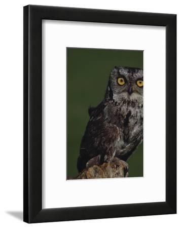 Screech Owl-Russell Burden-Framed Photographic Print