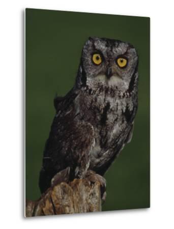 Screech Owl-Russell Burden-Metal Print