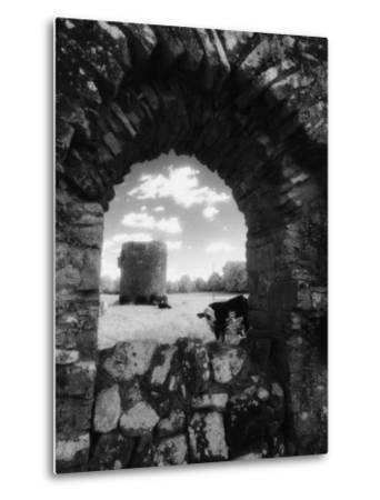 Cows, Ballybeg Abbey, Ireland-Karen Schulman-Metal Print