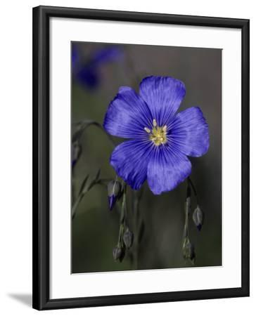 Blue Flax, Belmar Park, Colorado-D^ Robert Franz-Framed Photographic Print