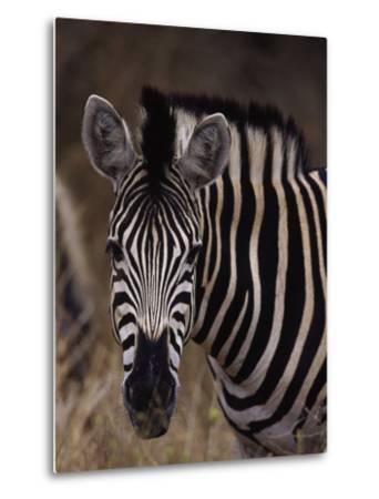 Burchell's Zebra, Equus Burchelli-D^ Robert Franz-Metal Print