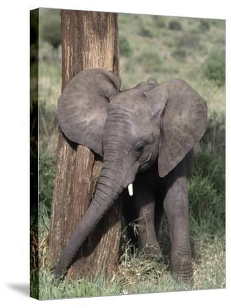 African Elephant Baby, Loxodonta Africana-D^ Robert Franz-Stretched Canvas Print
