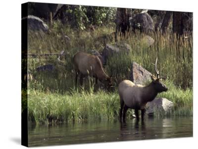 Moose in Yellowstone River, Yellowstone National Park, WY-Bruce Clarke-Stretched Canvas Print