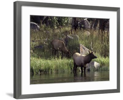 Moose in Yellowstone River, Yellowstone National Park, WY-Bruce Clarke-Framed Photographic Print