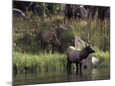 Moose in Yellowstone River, Yellowstone National Park, WY-Bruce Clarke-Mounted Photographic Print