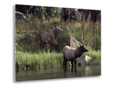 Moose in Yellowstone River, Yellowstone National Park, WY-Bruce Clarke-Metal Print