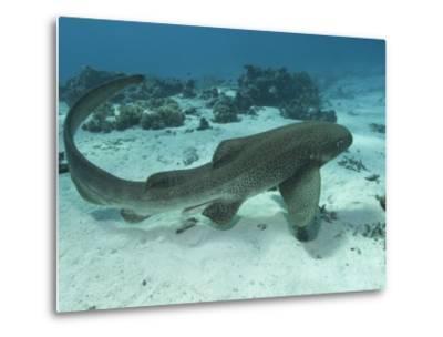 Leopard Shark, Male Swimming Over Ocean Floor, New Caledonia-Tobias Bernhard-Metal Print