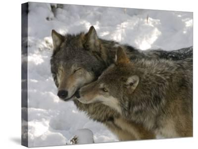 Gray Wolf, Two Captive Adults Kissing, Montana, USA-Daniel J. Cox-Stretched Canvas Print