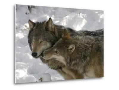 Gray Wolf, Two Captive Adults Kissing, Montana, USA-Daniel J. Cox-Metal Print