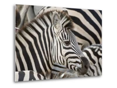Burchells Zebra, Head, Botswana-Mike Powles-Metal Print