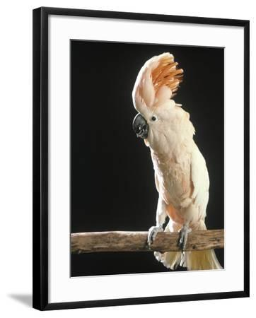 Moluccan Cockatoo-John Dominis-Framed Photographic Print