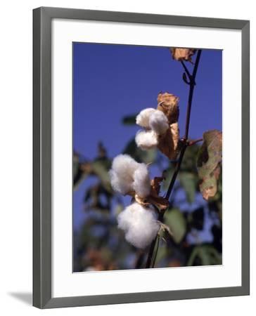 Cotton-Lauree Feldman-Framed Photographic Print