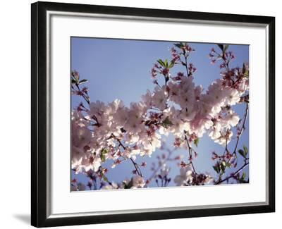 Cherry Blossom-Rudi Von Briel-Framed Photographic Print