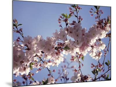 Cherry Blossom-Rudi Von Briel-Mounted Photographic Print