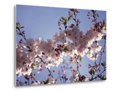 Cherry Blossom-Rudi Von Briel-Metal Print
