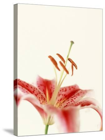 Robrum Lily-Dave Porter-Stretched Canvas Print