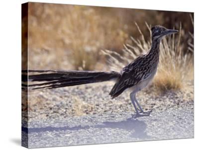 Roadrunner,Geococcyx Californianus, Joshua Tree National Park-Hal Gage-Stretched Canvas Print