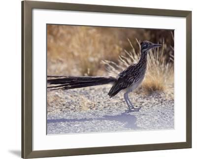 Roadrunner,Geococcyx Californianus, Joshua Tree National Park-Hal Gage-Framed Photographic Print