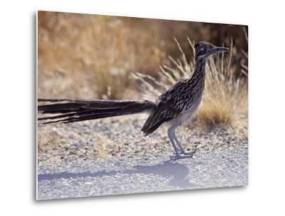 Roadrunner,Geococcyx Californianus, Joshua Tree National Park-Hal Gage-Metal Print