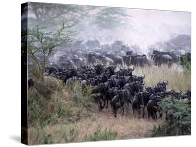 Wildebeests Migrating, Tanzania-D^ Robert Franz-Stretched Canvas Print