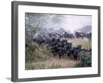 Wildebeests Migrating, Tanzania-D^ Robert Franz-Framed Photographic Print