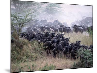 Wildebeests Migrating, Tanzania-D^ Robert Franz-Mounted Photographic Print