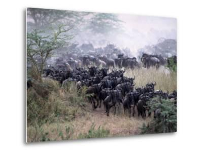 Wildebeests Migrating, Tanzania-D^ Robert Franz-Metal Print