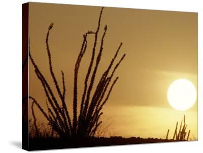 Desert Sunset with Ocotillo, CA-D^ Robert Franz-Stretched Canvas Print