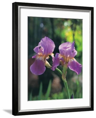 Purple Irises-Claire Rydell-Framed Photographic Print