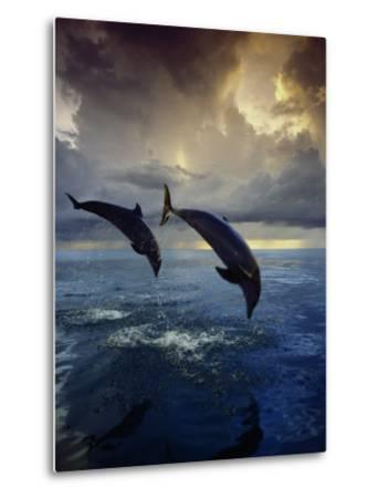 Bottlenose Dolphins, Tursiops Truncatus-Stuart Westmorland-Metal Print