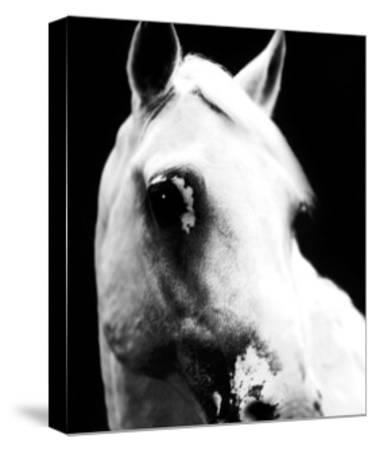 White Horse-Tim Lynch-Stretched Canvas Print