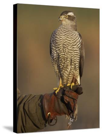 Goshawk, Adult Perched on Falconers Glove, Scotland-Mark Hamblin-Stretched Canvas Print