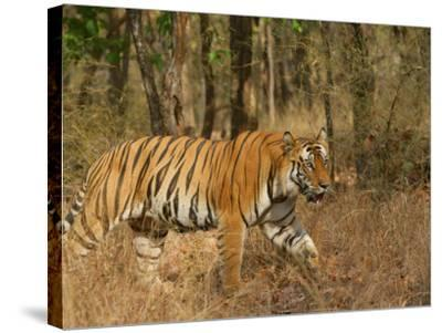 Bengal Tiger, Male Walking in Grass, Madhya Pradesh, India-Elliot Neep-Stretched Canvas Print
