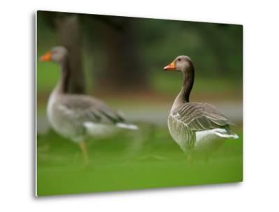 Greylag Goose, Pair of Greylag Geese Side-By-Side in Green Haze of Vegetation, London, Britain-Elliot Neep-Metal Print