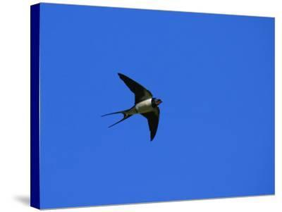 Swallow in Flight, Pembrokeshire, UK-Elliot Neep-Stretched Canvas Print