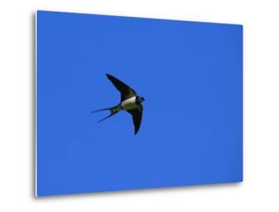 Swallow in Flight, Pembrokeshire, UK-Elliot Neep-Metal Print