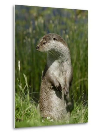 European Otter, Standing on Hind Legs, Sussex, UK-Elliot Neep-Metal Print