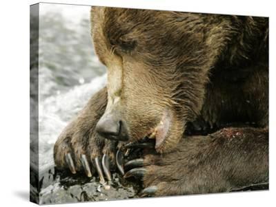 Alaskan Brown Bear, Close-up of Bear Eating Salmon, Alaska-Roy Toft-Stretched Canvas Print