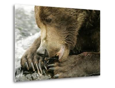 Alaskan Brown Bear, Close-up of Bear Eating Salmon, Alaska-Roy Toft-Metal Print