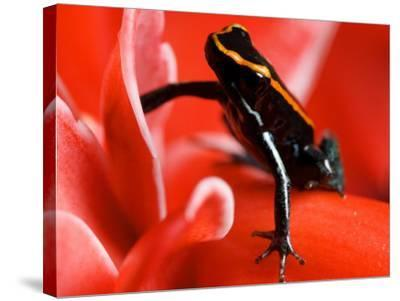 Golfo Dulce Poison Dart Frog, Frog Sitting on Pink Flower, Costa Rica-Roy Toft-Stretched Canvas Print