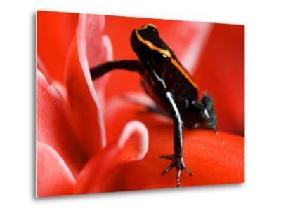 Golfo Dulce Poison Dart Frog, Frog Sitting on Pink Flower, Costa Rica-Roy Toft-Metal Print