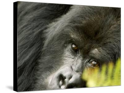 Mountain Gorilla, Close-up of Face Looking Through Fern, Africa-Roy Toft-Stretched Canvas Print