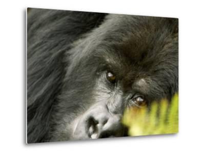 Mountain Gorilla, Close-up of Face Looking Through Fern, Africa-Roy Toft-Metal Print