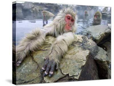 Japanese Macaques or Snow Monkeys, Adult in Foreground with Arms Extended on Rock, Honshu, Japan-Roy Toft-Stretched Canvas Print