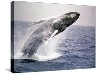 Humpback Whale-John Dominis-Stretched Canvas Print