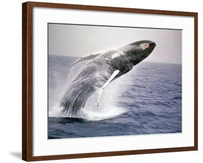 Humpback Whale-John Dominis-Framed Photographic Print